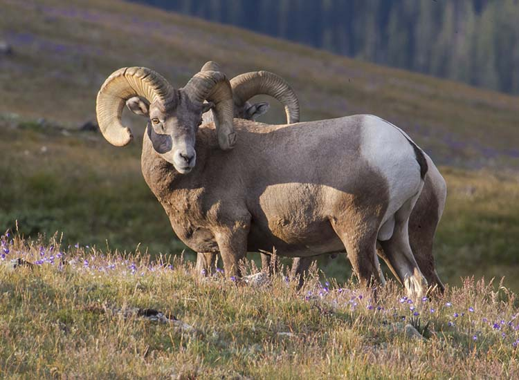 A wide array of wildlife, including bighorn sheep, live in Rocky Mountain National Park. // © 2017 Rocky Mountain National Park