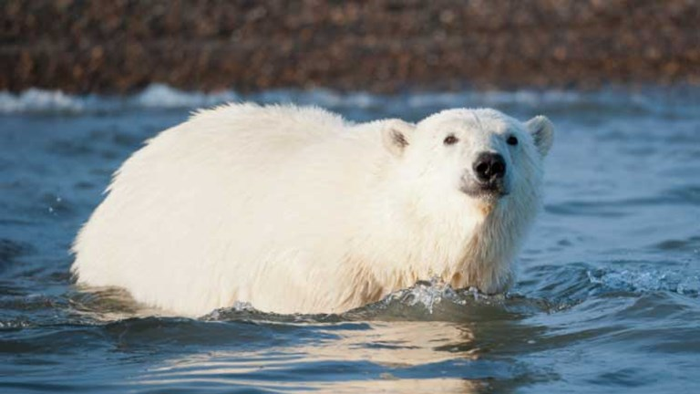 Encourage clients to go polar bear spotting now, while they still can.// © 2014  Thinkstock