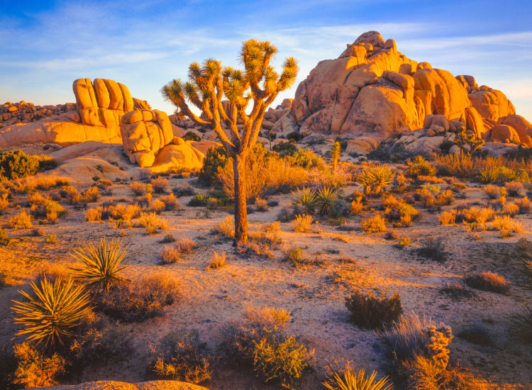 Visitors will find two distinct desert ecosystems, the Mojave and the Colorado, in California's Joshua Tree National Park. // © 2016 iStock