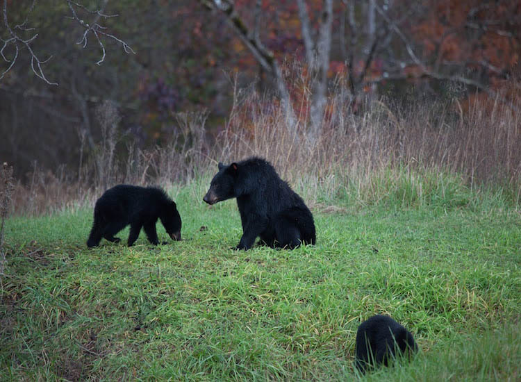 About 1,500 black bears make their home in the park. // © 2016 Wildland Trekking