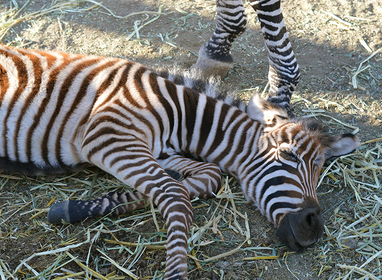 On-site animal births are all natural; this baby zebra was born just days before. // © 2015 Valerie Chen