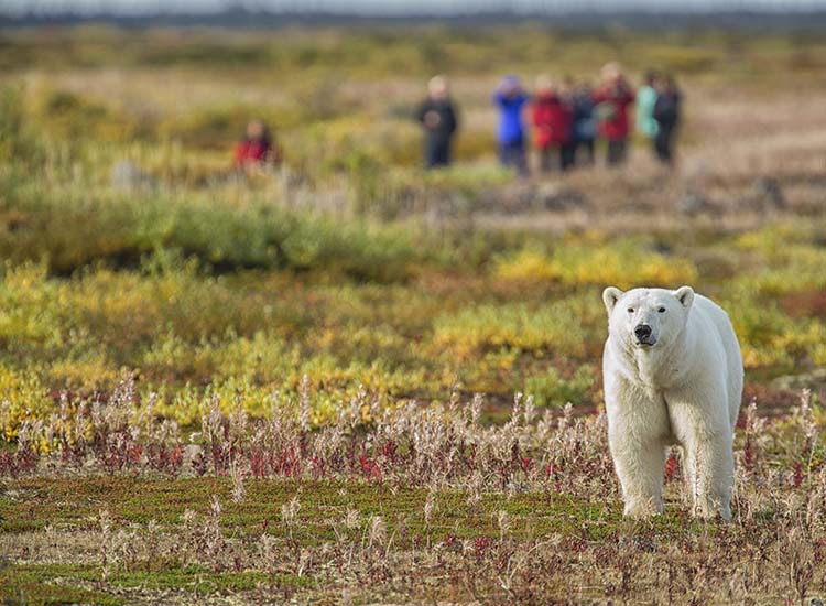 Churchill Wild, an all-inclusive safari company in Canada, enables visitors to catch close-up glimpses of polar bears. // © 2016 Robert Postma