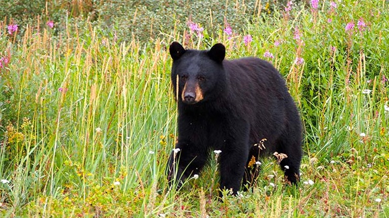 A black bear searches for berries. // © 2016 Zorianna Kit