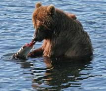 A brown bear fishes along Kodiak Island. // © 2010 Kodiak Island Convention & Visitors Bureau