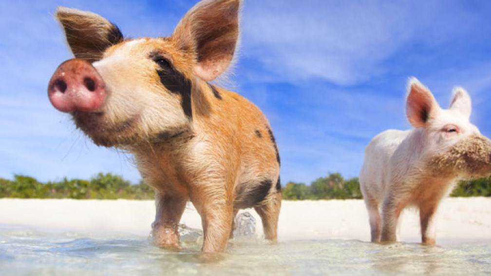 The swimming pigs of Exuma Cays // © 2014 Thinkstock/shalamov 2
