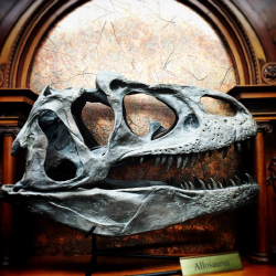 <p>The skull of an allosaurus, which lived 150 million years ago // © 2016 Michael Mundt</p><p>Feature image (above): Paleo Joe's Bar and Grill // ©...