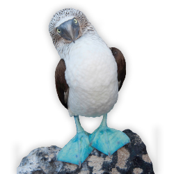 <p>A blue-footed booby // © 2017 iStock</p><p>Feature image (above): Sea lions and crabs abound on the Galapagos Islands. // © 2017 iStock</p>