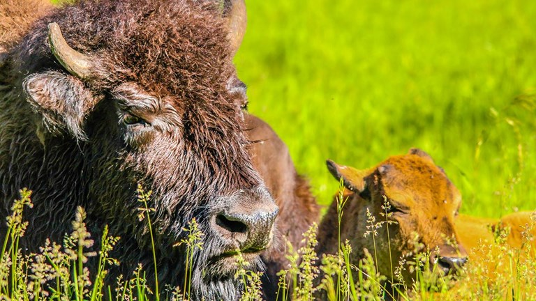 In Alberta, clients can get close to bison in the wild.