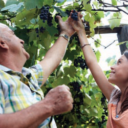 A grandfather helps his granddaughter pick grapes. // © 2013 Thinkstock