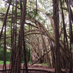 "<p>The North Shore's famous banyan tree has been used as a backdrop for television shows and films, including ""Lost"" and ""Pirates of the Caribbean: On..."