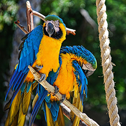 "<p>A pair of blue and yellow macaws at Santa Barbara Zoo, which is known as the ""Zoo With a View"" // © 2014 Creative Commons user <a target=""_blank""..."